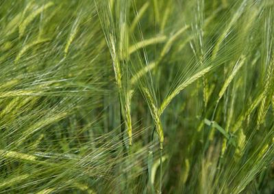 Champ de blé à Seynod