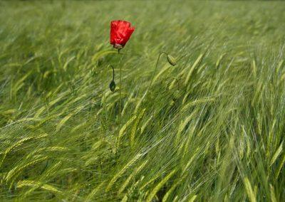 Coquelicot dans un champ de blé à Seynod