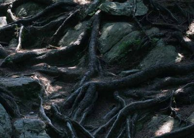 Racines d'arbres en montagne